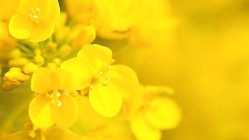 色彩心理・カラーセラピーの色の意味:イエロー・黄色