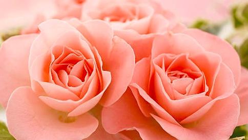 色彩心理・カラーセラピーの色の意味:コーラルピンク・サーモンピンク